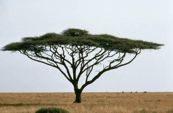 Madagaskaro medis- žudikas