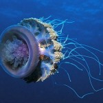 Didžiausia medūza pasaulyje