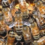 Bičių išnykimas mus gali sunaikinti