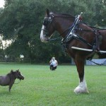 Vienas mažiausių arklių pasaulyje