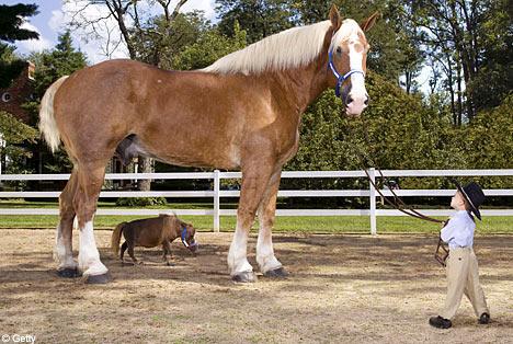 maziausias arklys pasaulyje 2