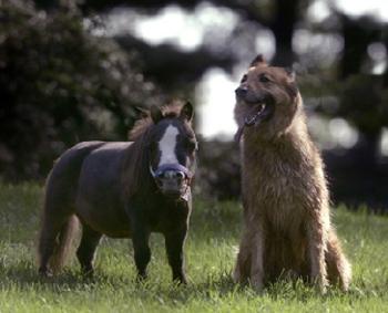 maziausias arklys pasaulyje 5
