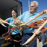 Japonijos vorinis krabas