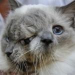 Katės su dviem veidais