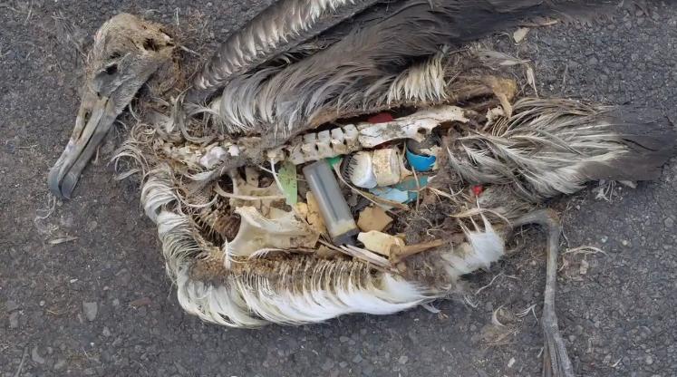 Paukščiai mirštantys nuo šiukšlių