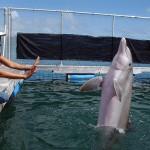 Delfinų sugebėjimai