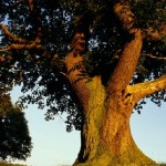 Medis žudikas