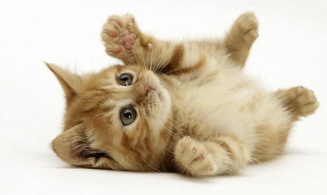 Ginger domestic kitten (Felis catus) rolling on back playing