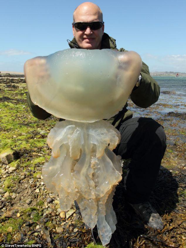D. Britanijos pakrantėje – gigantiškų medūzų invazija