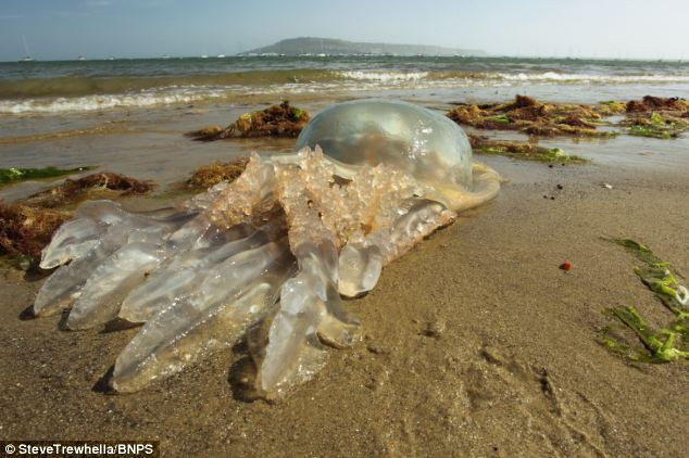 meduzos anglijoje2