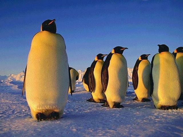 Atrastos didžiausio pingvino fosilijos